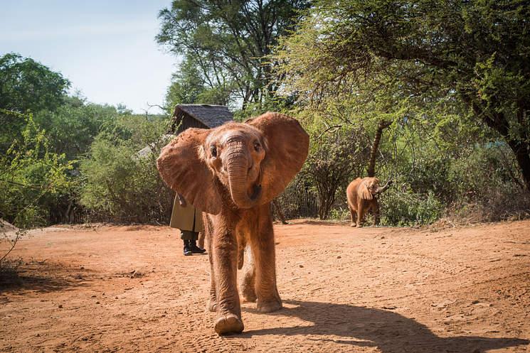 Adopta a un elefante en Kenia
