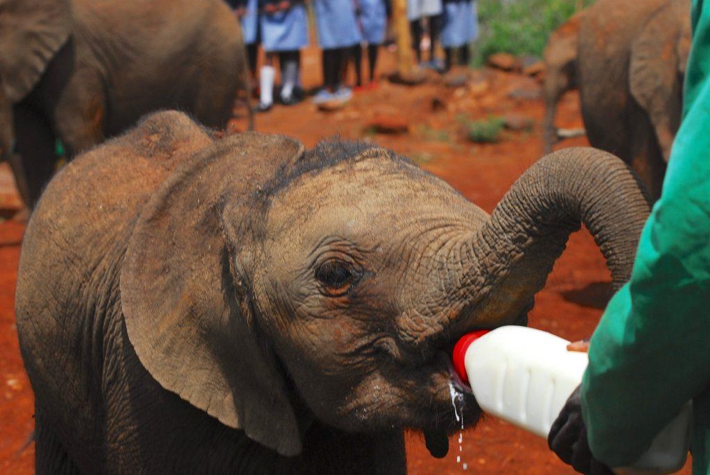 Orfanato de elefantes en Nairobi