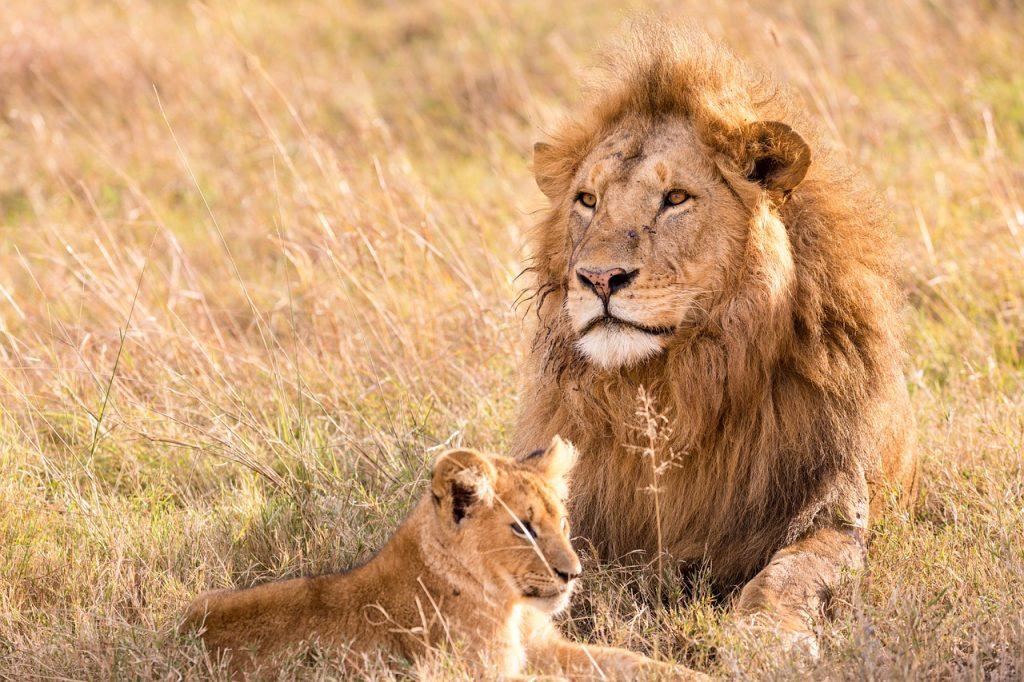 Leones en Masai Mara